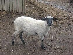 Suffolk (sheep) - Oveja - Borrega