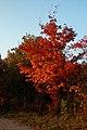 Sugar Maple (Acer saccharum) - Kitchener, Ontario 03.jpg