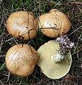 Suillus granulatus - Flickr - Dick Culbert.jpg