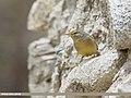 Sulphur-bellied Warbler (Phylloscopus griseolus) (48088988072).jpg