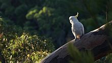 പ്രമാണം:Sulphur-crested cockatoo.ogv