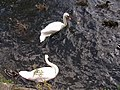 Swans on river Eden, Cupar - geograph.org.uk - 98038.jpg