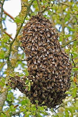 Swarm of Bees in hedgerow - geograph.org.uk - 416400