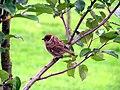 Swedish Sparrow 2004.JPG