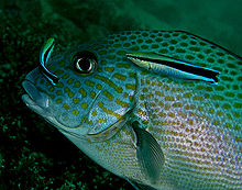 wrasse fish and black sea bass symbiotic relationship activities