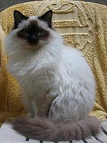 La Légende du Chat Sacré  dans CHAT