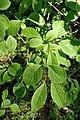 Syringa reticulata kz02.jpg