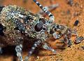 Tête de Trigoniophthalmus alternatus.jpg
