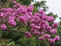 Tabebuia impetiginosa (Pink Trumpet tree) in Hyderabad, AP W IMG 2605.jpg