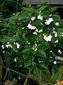 Tabernaemontana divaricata1.jpg