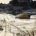 Tadorna ferruginea, ruddy shelduck - 29.jpg