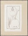 Taeniura humboldtii - 1700-1880 - Print - Iconographia Zoologica - Special Collections University of Amsterdam - UBA01 IZ14200101.tif