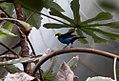 Tangara chilensis 4zz.jpg