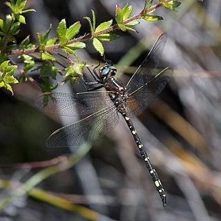 <i>Synthemis tasmanica</i> Species of dragonfly