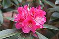 Tatton Park 2015 08 - Rhododendron.jpg