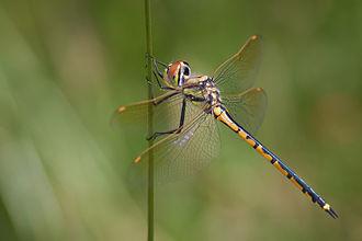 Odonata - Tau emerald (Hemicordulia tau) dragonfly