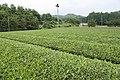 Tea field in Shirosato, Ibaraki 01.jpg