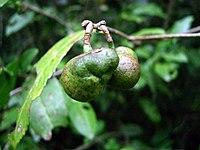 Seed bearing fruits of Camellia sinensis
