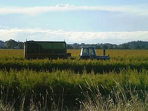 Tea tree oil plantation, harvesting equipment ...