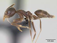 Technomyrmex gorgona casent0173586 profile 1.jpg