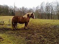 Tellus the Ardennais horse.jpg