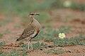 Temminck's courser, Cursorius temminckii, at Mapungubwe National Park, Limpopo Province, South Africa (31921734157).jpg