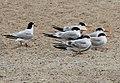 Terns (15398660540).jpg