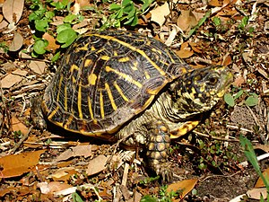 Ornate box turtle - Ornate box turtle (Terrapene ornata)