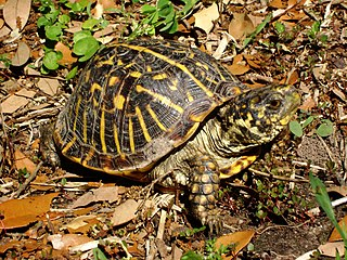 Ornate box turtle subspecies of reptile