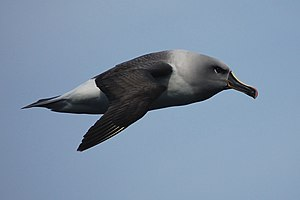 Grey-headed albatross - Flying in Drake's Passage, Southern Ocean
