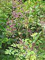 Thalictrum rochebrunianum - Flickr - peganum.jpg