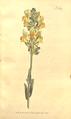 The Botanical Magazine, Plate 368 (Volume 11, 1797).png
