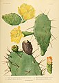 The Cactaceae (Plate XXVII) (6025954357).jpg