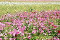 The Flower Fields at Carlsbad Ranch 39 2014-04-28.jpg