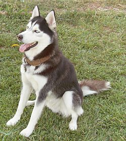 The Husky.JPG