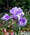 The Iris (27) (8096403355).jpg