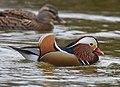 The Mandarin Duck of St. Ferdinand Park (45042683184).jpg