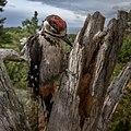 The great spotted woodpecker (Dendrocopos major) . Flaggspett-pho-P1904775 (49360561453).jpg