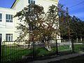 The tree of hawthorn near the school №30. September 2013. - Дерево боярышника, растущее возле 30-й школы. Сентябрь 2013. - panoramio.jpg