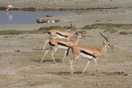 Male gazelle with females Thomson's Gazelles - Ngorongoro Crater.jpg