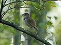 Thrush Nightingale (Luscinia luscinia), Gugny, Biebrzański Park Narodowy, Polska.jpg