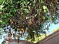 Thunbergia mysorensis (2193001452).jpg
