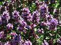 Thymus citriodorus 02.jpg