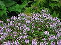 Thymus serpyllum flowering 02.JPG