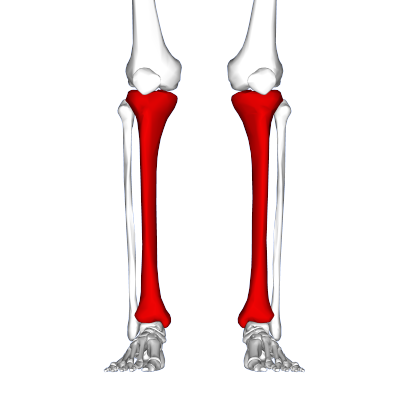 Tibia - frontal view2.png