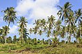 Tiga-Papan Sabah Coconut-trees-02.jpg