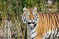 Tiger (16363992908).jpg