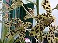 Tiger Orchid.jpg