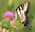 Tiger Swallowtail (2686499885).jpg