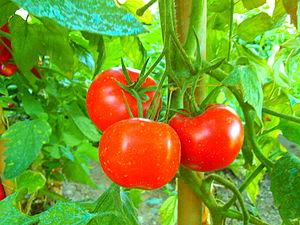 Deutsch: 3 reife Tomaten English: 3 ripe tomat...